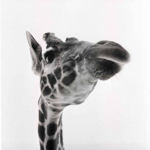 Giraffe, Berlin ca. 1955